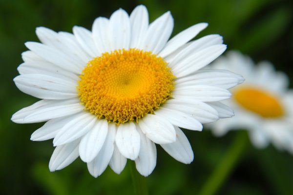 daisy-3-photo-copy